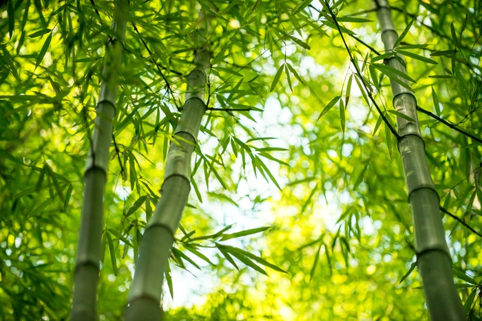 bamboebos voor bamboekleding